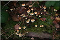 TF1474 : Hypholoma fasciculare (sulphur tuft) in Chambers Wood by Chris
