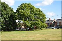 SU8595 : Oak, Downley Common by N Chadwick