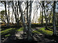 SJ5053 : Silver birches on Bickerton Hill by John Darch