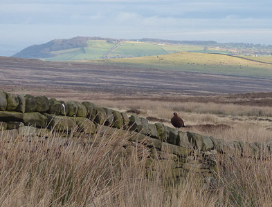 SE1343 : Grouse on a wall, Bingley Moor by Stephen Craven