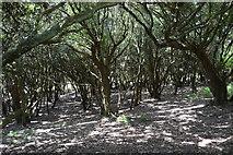 SX4448 : Woodland by South West Coast Path by N Chadwick