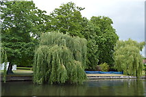 TL4459 : Weeping willows by N Chadwick