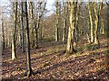 SP8604 : Woodland, Little Hampden by Andrew Smith