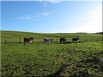 ST0184 : Horses on Mynydd Meiros by Gareth James