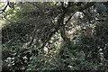 SX0349 : Dense coastal woodland by N Chadwick