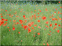TQ3494 : Poppies and cornflowers in Jubilee Park by Stephen Dawson