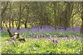 TA0139 : Bluebells in April by Carolyn Metcalf