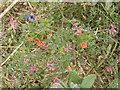 SP7800 : Scarlet Pimpernel in a cut cornfield by David Hawgood