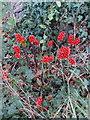 SU8099 : Cuckoo Pint berries by David Hawgood