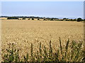 TA3423 : Wheatfield by Andy Beecroft
