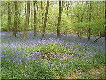 TQ5507 : Bluesbells  in Abbots Wood by bob mitchell