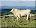 SZ6385 : Charolais Bull on Culver Down by Penny Mayes