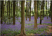 ST4764 : Cleeve: bluebell wood by Martin Bodman