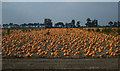 TL4896 : Christchurch: Pumpkin field by Nigel Cox