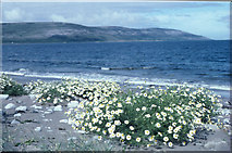 M2409 : Looking west from Bishopsquarter, with sea mayweed by Dr Charles Nelson