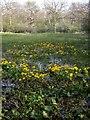 TF1101 : Marsh Marigolds at Castor Hanglands by Katie