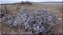 F6436 : Sea holly at Termoncarragh on the Mullet Peninsula. by Dr Charles Nelson