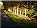 TF5005 : Birch tree trunks in evening light. by Dr Charles Nelson