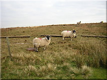 NS5247 : Sheep and Feeding Troughs on Craigenfaulds Moss by Iain Thompson