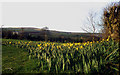 SX3867 : Daffodils at Tipwell by Crispin Purdye