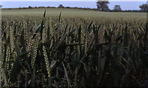SP6970 : Wheat field near Teeton by Sheila Russell