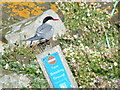 NT6599 : Terns Only! by Norrie Adamson
