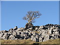 SD6876 : Tree growing out of limestone rocks. by Steve Partridge