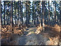 SU8864 : Track in Swinley Forest by Andrew Smith