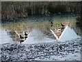 NZ5915 : Ducks on Ice by Mick Garratt