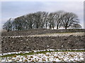 NY7306 : Dry stone walls and copse of trees on Smardale Fell by John Darch