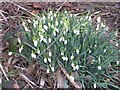 SJ8781 : A sign of Spring on St David's Day. by Keith Williamson