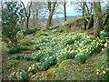 NR7961 : Spring daffodils by Patrick Mackie