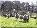 H4673 : Sheep at Mullaghmore, Omagh by Kenneth Allen