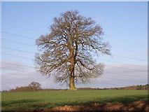 SU9395 : Farmland and tree near Winchmore Hill by Andrew Smith