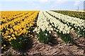 SW7037 : A Bulb Field by Tony Atkin