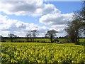 TG2600 : Oilseed rape, south of Poringland by Graham Hardy