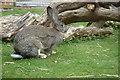 SD6527 : British Giant rabbit by Margaret Clough