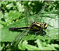 SU6079 : Club-tailed Dragonfly (Gomphus vulgatissimus) by Hugh Venables