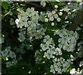 SW7349 : Hawthorn Blossom - Crataegus monogyna by Tony Atkin