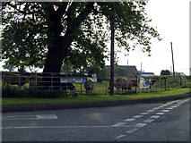 SJ6342 : Cattle at Lightwood Green Avenue by Nigel Williams