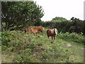 SW5831 : Shetland ponies on Godolphin Hill by Sheila Russell