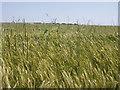 SW6724 : Wheatfield by Sheila Russell