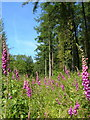 SX7250 : Foxgloves in Aveton Wood by Derek Harper