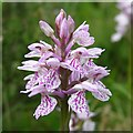 SU3307 : Heath spotted orchid near Matley Bog, New Forest by Jim Champion