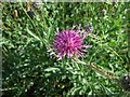 SP9920 : Knapweed by Rob Farrow