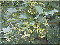 SP8902 : Leaves and fruit of Sycamore tree by David Hawgood