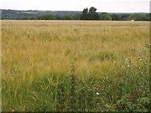 SW6132 : Barley field near Pengelly Barton by Sheila Russell