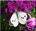 NJ3161 : Large White Butterfly (Pieris brassicae) by Anne Burgess
