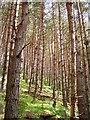 NH3355 : Achlorachan Wood by Richard Webb