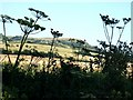 SP9618 : Umbellifera at Coombe Bottom by Rob Farrow